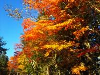 「きてます!赤くなってきてます!」(Autumn Leaves)