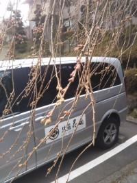 【強羅花扇の枝垂桜(Weeping Cherry Tree in Gora Hanaougi)】