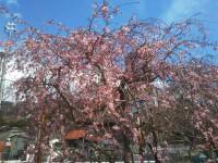 【箱根・宮城野の桜の状況です」(Cherry Trees in Miyagino District, Hakone)】
