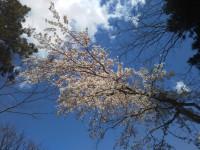 「強羅の桜」(Sakura trees are fully bloomed in Gora District)