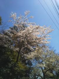 【強羅の桜(Sakura trees are fully bloomed in Gora District)】