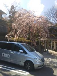 【強羅花扇の枝垂桜も咲きました(The Weeping Cherry Tree in Gora Hanaougi)】