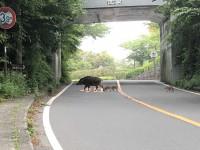 「猪の家族」(Boar Family walk around near GoraHanaougi)